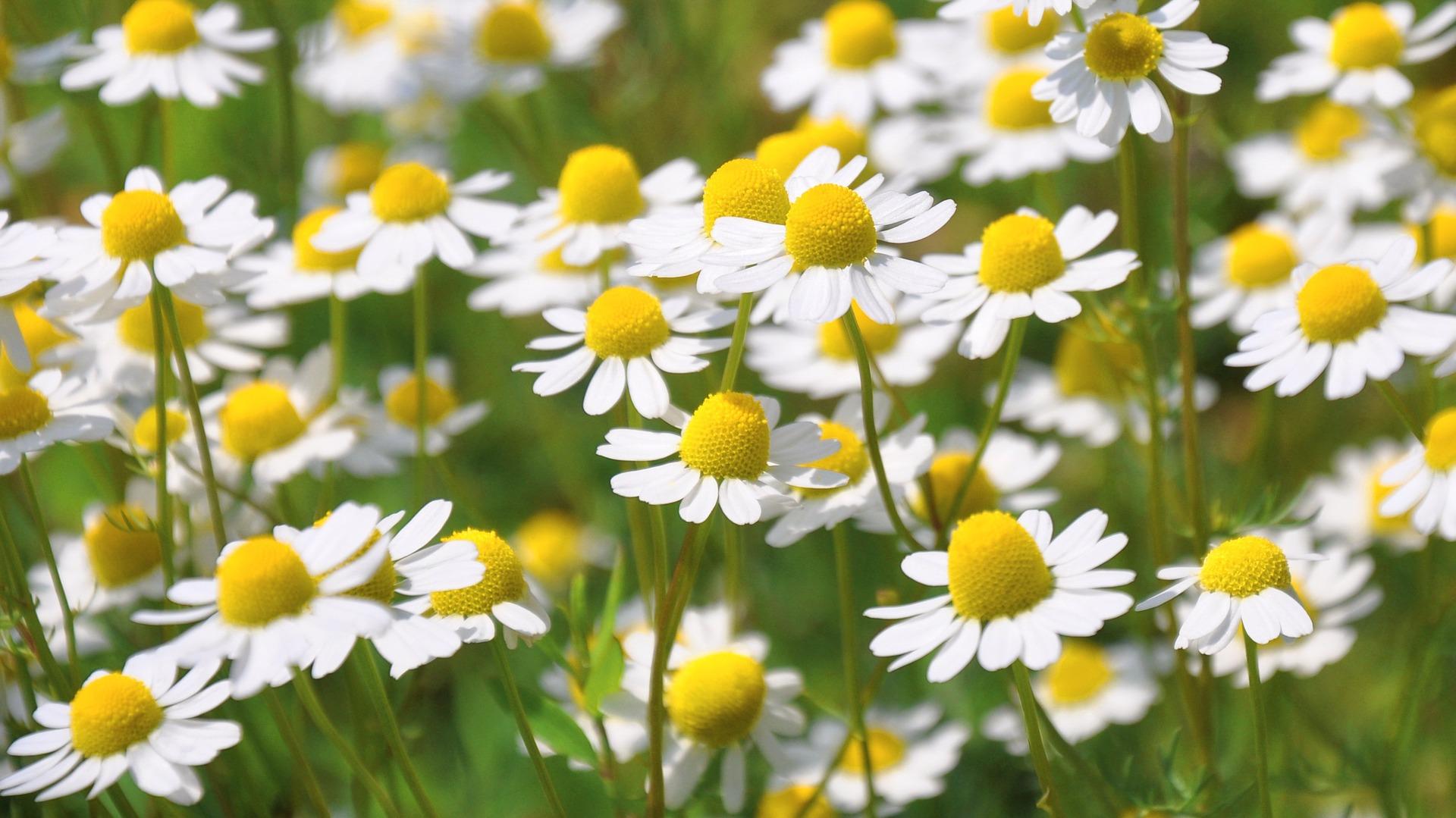 Camomilla, un'erba spontanea tutta da scoprire!