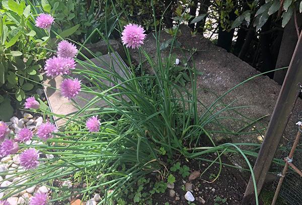 Erbe spontanee: scopriamo insieme l'erba cipollina